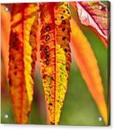 Colorful Autumn Leaves Acrylic Print by Gynt