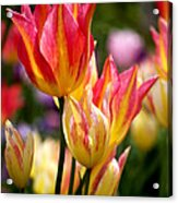 Colorful Tulips Acrylic Print by Rona Black