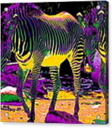 Colourful Zebras  Acrylic Print by Aidan Moran