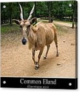 Common Eland Acrylic Print by Chris Flees