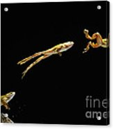 Common Frog Leaping Acrylic Print by Stephen Dalton