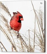 Common Northern Cardinal Square Acrylic Print by Bill Wakeley