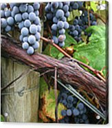 Concord Purple Acrylic Print by Wendy Raatz Photography