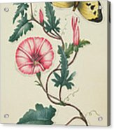 Convolvulus With Yellow Butterfly Acrylic Print by English School