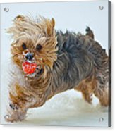 Corky The Yorky Acrylic Print by Don Wolf