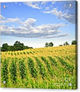Corn Field Acrylic Print by Elena Elisseeva
