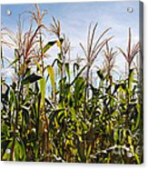 Corn Production Acrylic Print by Carlos Caetano