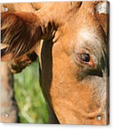 Cow Closeup 7d22391 Acrylic Print by Wingsdomain Art and Photography