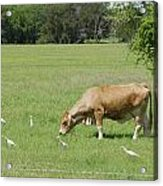 Cow Grazing With Egret Acrylic Print by Charles Beeler