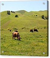 Cows Along The Rolling Hills Landscape Of The Black Diamond Mines In Antioch California 5d22350 Acrylic Print by Wingsdomain Art and Photography