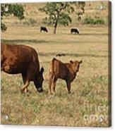 Cows In The Pasture Acrylic Print by Maureen J Haldeman