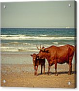 Cows On Sea Coast Acrylic Print by Raimond Klavins