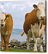 Cows Acrylic Print by Terry Whittaker