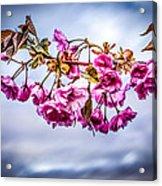 Crab Apple Tree Acrylic Print by Bob Orsillo