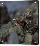 Crab In Mangrove Forest In Los Haitises National Park Dominican Republic Acrylic Print by Andrei Filippov