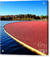 Cranberry Harvest In New Jersey Acrylic Print by Olivier Le Queinec
