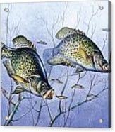 Crappie Brush Pile Acrylic Print by JQ Licensing