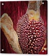 Crimson Canna Lily Bud Acrylic Print by Bill Tiepelman