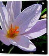 Crocus Flower Acrylic Print by Joyce Woodhouse