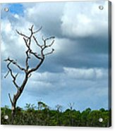 Crooked Tree On Crooked Island Acrylic Print by Julie Dant