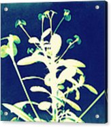 Crown Of Thorns - Blue Acrylic Print by Shawna Rowe