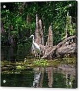 Crystal River Egret Acrylic Print by Skip Willits