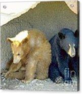 Cubs In A Pod Acrylic Print by Kim Petitt