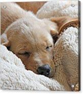 Cuddling Labrador Retriever Puppy Acrylic Print by Jennie Marie Schell