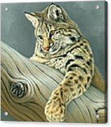 Curiosity - Young Bobcat Acrylic Print by Paul Krapf
