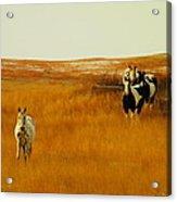 Curious Ponys  Acrylic Print by Jeff Swan