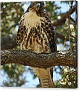Curious Redtail Acrylic Print by Donna Blackhall
