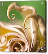 Curled Petals Acrylic Print by Terry Rowe