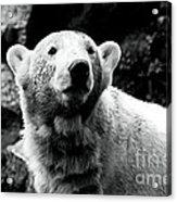 Cute Knut Acrylic Print by John Rizzuto
