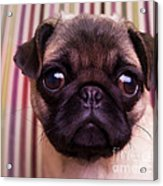Cute Pug Puppy Acrylic Print by Edward Fielding