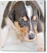 Cute Smooth Collie Puppy Acrylic Print by Martin Capek