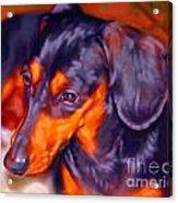 Dachshund Portrait Acrylic Print by Iain McDonald