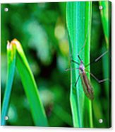 Daddy Long Legs  Acrylic Print by Toppart Sweden