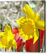 Daffodil Flowers Art Prints Spring Daffodils Red Tulip Garden Acrylic Print by Baslee Troutman
