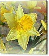 Daffodil Acrylic Print by Bishopston Fine Art