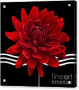 Dahlia Flower And Wavy Lines Triptych Canvas 2 - Red Acrylic Print by Natalie Kinnear