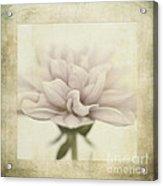 Dahlietta Textures Acrylic Print by John Edwards