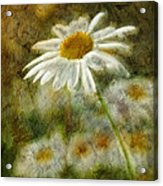 Daisies ... Again - P11at01 Acrylic Print by Variance Collections
