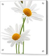 Daisies On White Background Acrylic Print by Elena Elisseeva