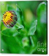 Daisy Bud Ready To Bloom Acrylic Print by Kaye Menner