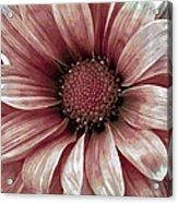 Daisy Daisy Blush Pink Acrylic Print by Angelina Vick