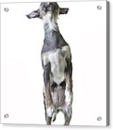 Dancing Dog Acrylic Print by Edward Fielding