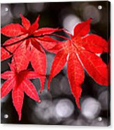 Dancing Japanese Maple Acrylic Print by Rona Black
