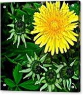 Dandelion Farm Acrylic Print by Frozen in Time Fine Art Photography