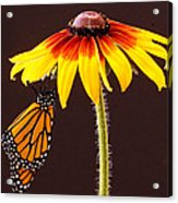 Dangling Monarch Acrylic Print by Jean Noren