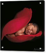 Darion In Rose Acrylic Print by Anne Geddes